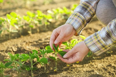 farmer hands with soybean plant